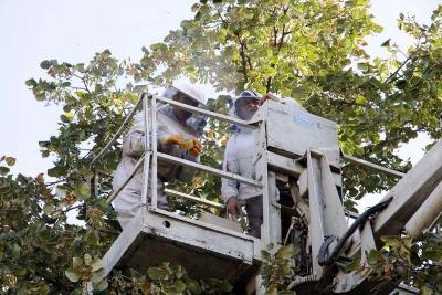Двамата опитни пчелари се издигнаха на 20 метра над земята, за да свалят кошера.  Снимка Община Стара Загора