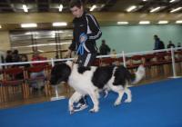 Кучето на Бойко Борисов – Лазар, загрява, преди да излезе на състезанието за Световната киноложка купа 2012, където спечели първо място.  Снимка Международен панаир - Пловдив