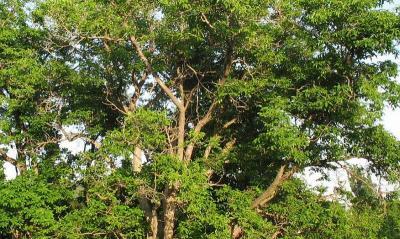 Орехите са на повече от 200 години, а черницата е над 500-годишна.  Снимка Facebook