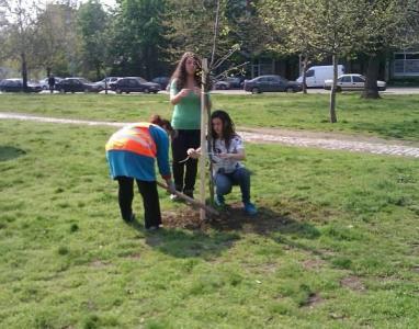 """В зелените площи на бул. """"Свобода"""" до спортната площадка са засадени 14 броя червен дъб, 10 чинара и 7 броя иглолистни видове."""