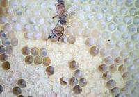 """Българският мед е уникален със своите ароматни и вкусови качества.  Снимка <a href=""""http://nbps.press.bg/"""">nbps.press.bg</a>"""