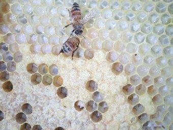 Българският мед е уникален със своите ароматни и вкусови качества.   Снимка nbps.press.bg