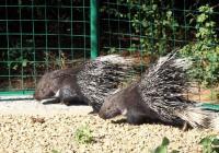 Симпатичните животинчета приличат на язовци, но всъщност са от рода на гризачите. Снимка Община Стара Загора